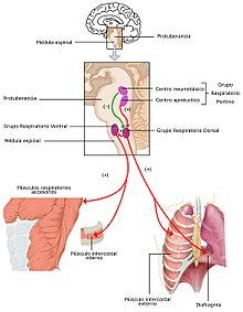 Es ¿Por respiratorio el y qué importante circulatorio? sistema