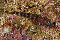 2 - Gammogobius steinitzi 16-05-08 DSCF3229.jpg