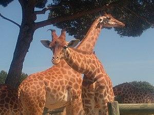 La Barben - Image: 2 Girafes à la Barben
