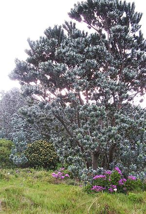 Cecilia Forest - The rare and majestic Silvertree (Leucadendron argenteum) is making a slow return to the Cecilia slopes