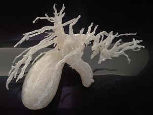 Bile duct - Image: 3DPrinted biliary system 20151201