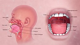 3D Medical Illustration Explaining Oral Digestive System