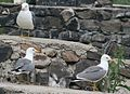 3 Armenian Gulls - front, back and side views.jpg