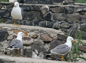 Armenian gull - Image: 3 Armenian Gulls front, back and side views