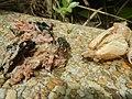4300Ants of the Philippines Common houseflies 12.jpg