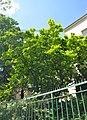 46-101-5040 Lviv Konovaltsia 94 Magnolia Soulangeana RB 18.jpg