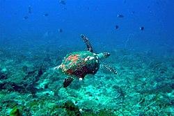 47-EastTimor-Dive2 Black-Rock 10 (Turtle)-APiazza.JPG