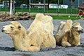 50 Jahre Knie's Kinderzoo - Camelus bactrianus (Trampeltier) 2012-10-03 15-17-55.JPG