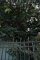 51-101-5022 Тис ягідний, Одеса.jpg