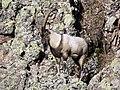 5 Bezoar Goat.jpg