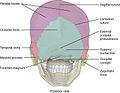 730 Posterior View Skull.jpg