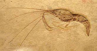 Dendrobranchiata - Fossil Aeger (Aegeridae)