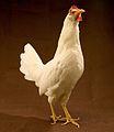 ARS-White Leghorn hen (cropped).jpg