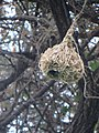 ASC Leiden - van de Bruinhorst Collection - Somaliland 2019 - 4530 - A detail of the nest of weaver birds hanging from a tree.jpg