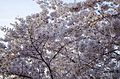 A canopy of pink cherry blossoms - 2013-04-09 (8634559911).jpg
