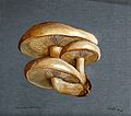 A fungus (Pleurotus ulmarius); a group of fruiting bodies. W Wellcome V0043369.jpg