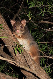 http://upload.wikimedia.org/wikipedia/commons/thumb/5/5e/A_possum.JPG/180px-A_possum.JPG