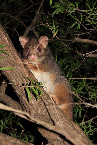Phalangeriformes - Ringtail possum in an urban area at night