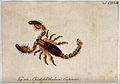 A scorpion; Opistophthalmus capensis. Coloured engraving. Wellcome V0022406.jpg