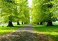 A sunny morning on the lime Avenue, Calke Abbey - geograph.org.uk - 797556.jpg