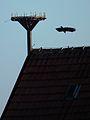 Abflug Rabenkrähe von leerem Storchennest.JPG