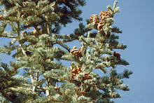 Abies concolor foliagecones.jpg