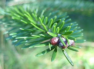 Abies fargesii - Image: Abies fargesii bud foliage