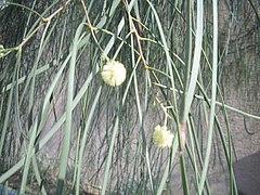Acacia-stenophylla-flowers.jpg