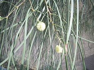 Ironwood - Image: Acacia stenophylla flowers