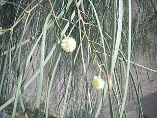 <i>Acacia stenophylla</i> species of plant