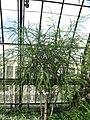 AcaciaPravissima.jpg