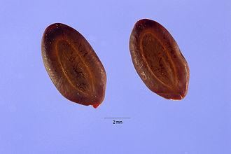 Vachellia rigidula - Image: Acacia rigidula seeds