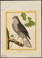 Accipiter nisus - 1700-1880 - Print - Iconographia Zoologica - Special Collections University of Amsterdam - UBA01 IZ18300067.tif