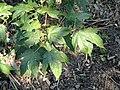 Acer elegantulum - J. C. Raulston Arboretum - DSC06114.JPG