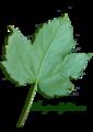 Acer pseudoplatanus scanned leaf1.png