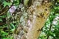 Acer saccharinum in Eastwoodhill Arboretum (1).jpg