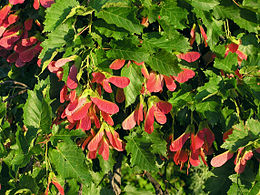 Acer tataricum (fruits)