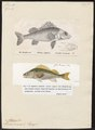 Acerina cernua - - Print - Iconographia Zoologica - Special Collections University of Amsterdam - UBA01 IZ12900094.tif