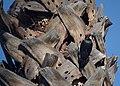 Acorn woodpecker (30821037175).jpg