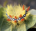 Acronicta aceris Caterpillar.JPG