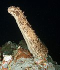 Actinopyga agassizii, commonly known as five-toothed sea cucumber