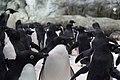 Adélie penguin 2.jpg