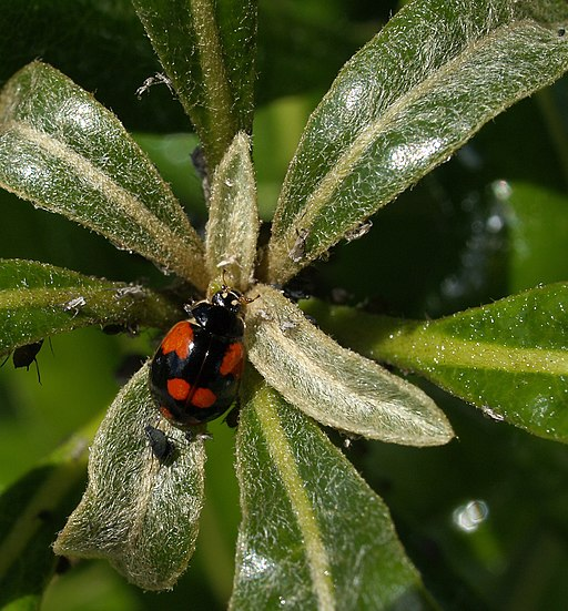 Adalia-bipunctata-negra Black two spotted native ladybird