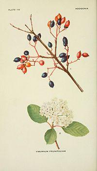 Addisonia (PLATE 110) (8591363301).jpg