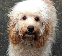 cockapoo wikipedia