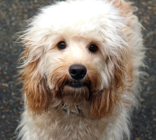 Cavapoo Dogs For Sale In Kent
