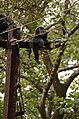 Adult lion-tailed macaque looking at the electrocuted infant in Valparai DSC 2541.jpg