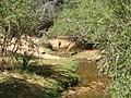 Aepyceros melampus melampus drinking in Tsavo West National Park.jpg