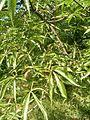 Aesculus glabra var arguta Aesculus arguta BotGardBln07122011A.JPG