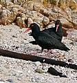 African Black Oystercatchers (Haematopus moquini) (32520652010).jpg